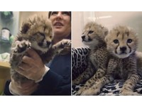 小獵豹姊妹被抱抱就一直「划水」 喝ㄋㄟㄋㄟ霸氣外露