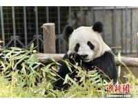 四川「美女貓熊」蘇琳懷孕了 卻不知孩子的爸是誰...