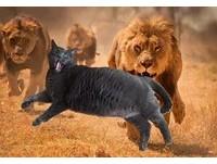 走失小貓返家...發狠吃成巨肥貓 主人:每天都被嚇醒