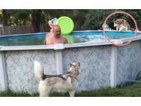 二哈根本小朋友~見爸爸洗泳池好開心 等不及直接跳進去