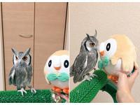 貓頭鷹找到新夥伴「木木梟」 100%同步:怎有點像我?