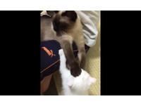 喵星人爭寵!大貓展開絕對防禦 給小貓「蓋火鍋」