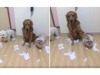 誰把紙屑弄滿地? 黃金獵犬出賣夥伴伸手指:主人!就是牠