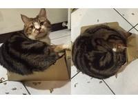 新鞋盒QQ!胖貓擠到「邊邊炸裂」 有想過紙箱的感受嗎?