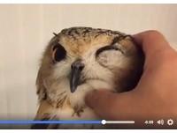 不要停!雕鴞瞇眼享受摸摸 表情「超銷魂」:酥湖~