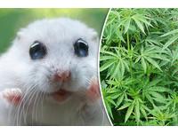 嗑藥男用迷幻藥和大麻餵倉鼠 差點讓牠High到「爆」!