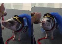 舊金山機場出現穿裙子、塗指甲油「正妹豬」
