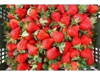 體驗紅色果實的魅力!苗栗「大湖草莓季」正式開跑