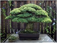 什麼!這個盆栽391歲了!「樹瑞」至今還在長