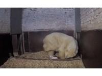 小北極熊學走路「翻車」 媽媽慢動作繞過再給愛的抱抱