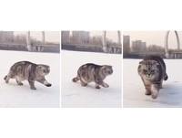 胖貓「豬哥」走雪地超怕濕 每跨一步就要用力甩腿一次