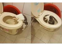 好大的水池!貓寶寶泡「馬桶SPA」 媽:才送洗完...QQ