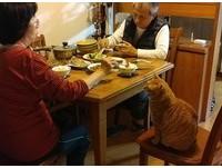 胖橘佔椅子「媽媽還幫夾菜」 貓奴泣:我才是領養的...