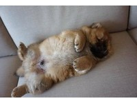 鬆獅寶寶「劈腿」撓癢癢 結果腿太短...悲劇了QQ