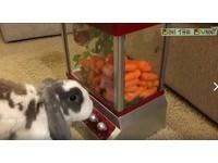 夾娃娃機塞滿蘿蔔! 短尾兔比尼用嘴拼命搖搖桿:快出來