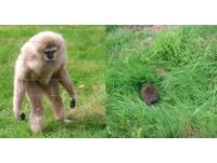 第一次看到刺蝟... 榴槤怎麼會動!白長臂猿愣3秒逃跑
