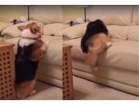 中二柯基抖屁助跑 腿短跳不上沙發還惱羞「不爽跳了」