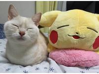 日本瞇眼貓撞臉皮卡丘抱枕 網笑:睡姿+表情完全同步