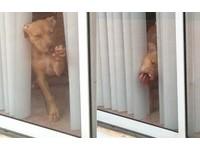 給.我.開.門...比特犬舌洗落地窗刷存在感 臉歪了還不放棄