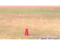 洲際棒球場跨完年草皮像「狗啃的」 市府:有翻修計畫