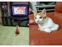 橘貓仔仔愛看「動物星球頻道」 被馬麻擋到還歪頭:閃啦~
