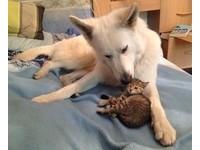 小喵喵跑到家門口求收編 大狗自願當「奶爸」照顧牠長大