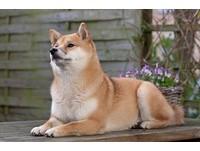 狗狗烈日下高燒、大喘、口渴 當心是中暑嚴重會昏迷