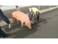 「塊陶啊~」小豬國道跳車亂竄 警方揮汗大追捕