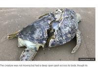 龜殼被劈開露出內臟 綠蠵龜遭「砍對半」陳屍海灘
