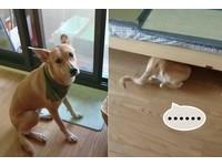 要去散步了嗎?聽到「走!」 台中米克斯直奔...床底下