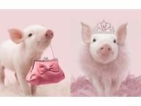動物界的粉紅教主 小豬豬的粉嫩生活