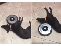 掃地機器人沿身形零死角按摩 小黑狗爽躺:好酥服~