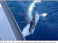 驚悚!漁夫釣起小鯊… 大白鯊咬尾不鬆口