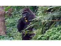 金剛猩猩「迪亞哥」帥氣亮相! 愛吃柳丁、青椒
