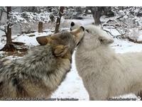 孤獨中的一匹狼! 「牠」結束流浪找到真愛