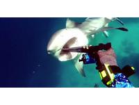 潛水驚見血盆大口...鯊魚秒速游近 他靠魚槍刺嘴保命
