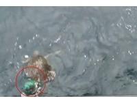 「欖蠵龜」遭廢棄漁網纏繞 受困1個月暴瘦、多處傷