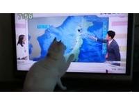 逗貓棒節目 喵星人坐電視前伸手要抓氣象主播的指示棒
