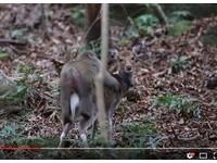 公猴硬騎母鹿! 日本屋久島「異種交配」驚人影像公開
