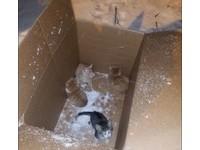 淋雪挨凍喵喵叫 美國好心女紙箱中發現4隻6周大小貓