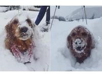 快把我埋起來!黃金獵犬愛玩雪 「這剉冰怎都吃不完~」
