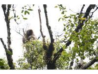 比對10年發現新物種! 「高黎貢白眉長臂猿」不到200隻