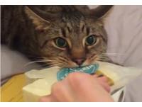 為愛而戰...貪吃貓開飛機緊咬麵包 低吼:朕不給不許搶!