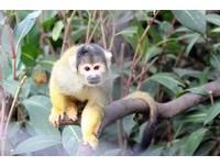 黑冠松鼠猴報到!黑頭髮、全身金毛 「噴射」逛展場