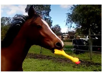 給馬兒一隻「尖叫雞」 甩出牠的魔性音效讓人想重播!