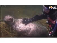潛水員幫「海底馬殺雞」 小海豹撒嬌求摸肚:繼續~