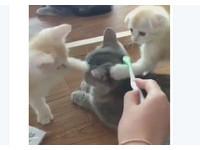 主人拿牙刷給貓刷毛 2隻幼喵加碼給「雙倍服務」