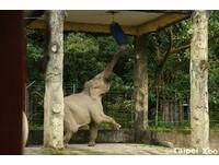 一放風就直衝沙包!動物園亞洲象升級「拳擊之王」