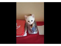 打地鼠喵喵版? 小白貓探頭縮手陪主人玩正港「躲貓貓」