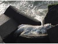 「白身怪物」兩眼凸出趴消波塊 網驚:進化失敗暴鯉龍